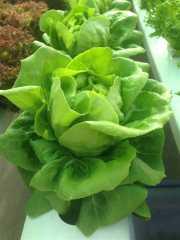 บัตเตอร์เฮด Butterhead Lettuce