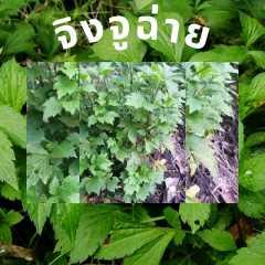 จิงจูฉ่ายผักสด อินทรีย์