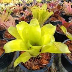 (ส่งฟรี)ต้นสับปะรดสี Neo...ไม้ประดับมีดอกสีชมพูสวยงาม