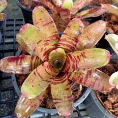 (ส่งฟรี) ต้นสับปะรดสี นีโอ ไทเกอร์