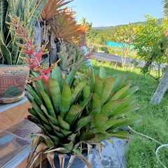 (ส่งฟรี)ต้นสับปะรดสี ไม้ทนแดด 100%