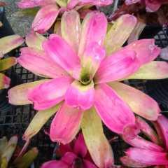 (ส่งฟรี)ต้นสับปะรดสี Neo.passion pink