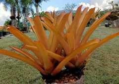 (ส่งฟรี)ต้นสับปะรดสีทนแดด 100%